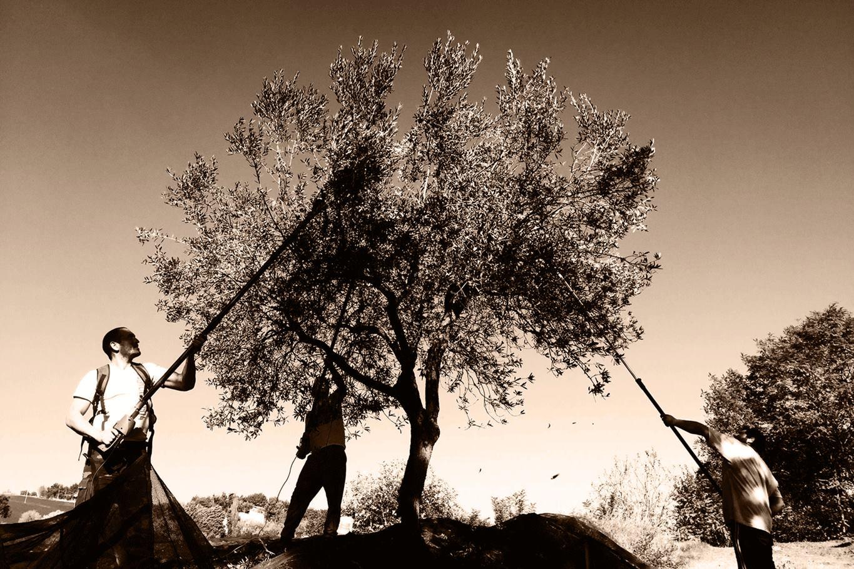 Le Cune olijfboom